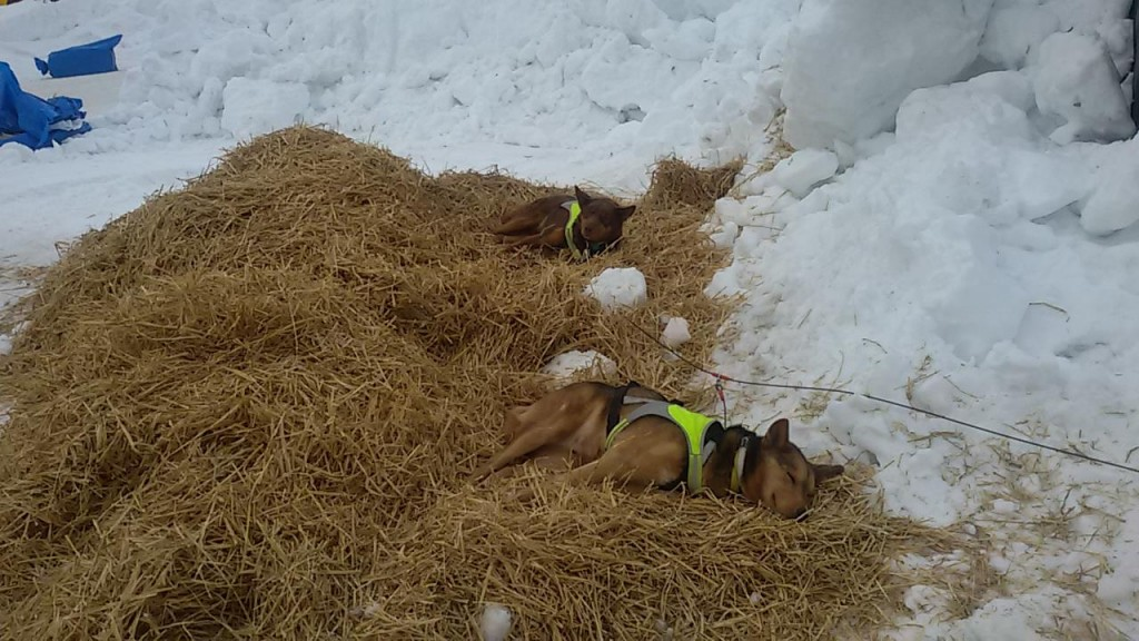 Iditarod con perros