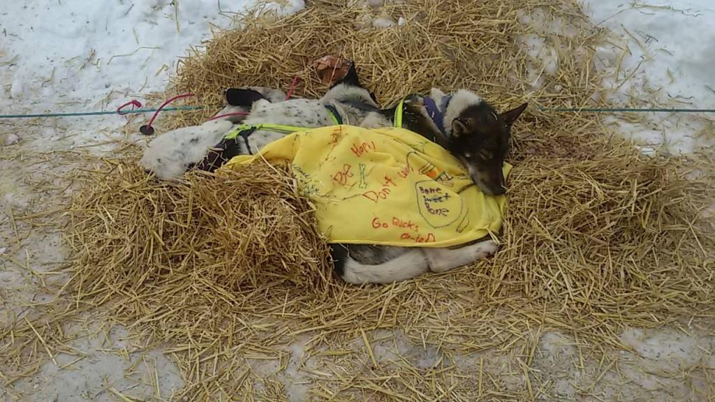 Dos perros exhaustos tras varias etapas