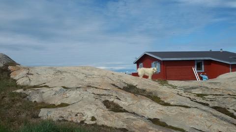 Animales en Ilulissat