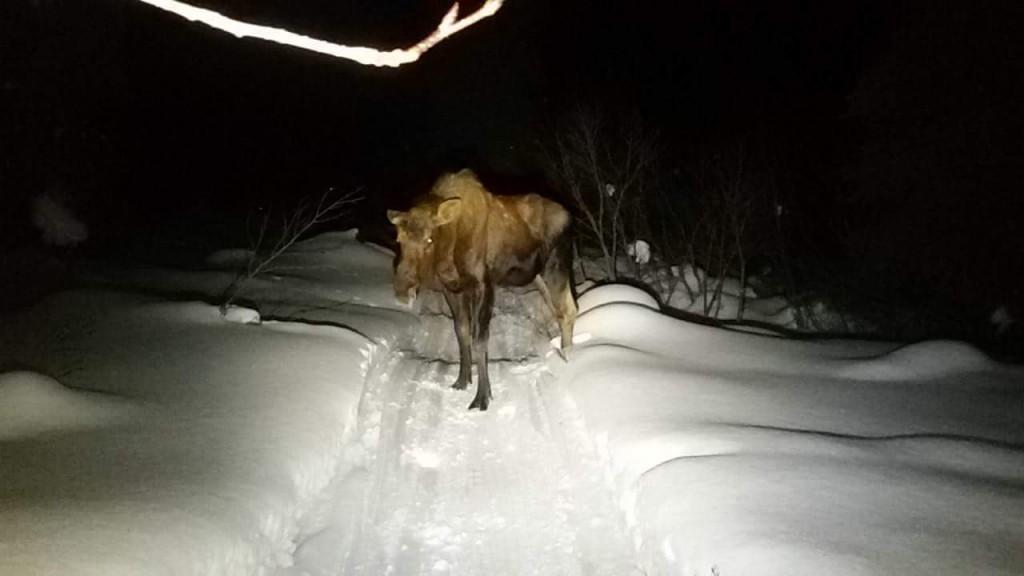 Moose en medio del camino de Iditarod Trail