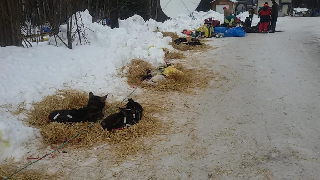 Perros de la Iditarod descansando